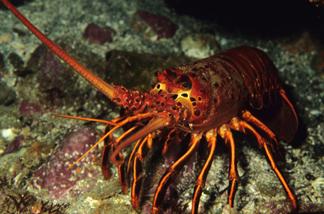 spiny_lobster